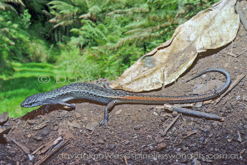 Highland Forest Skink spies prey whilst basking. Orangetailed Shadeskink showing white outer thigh blotch, a typical feature of the genus.