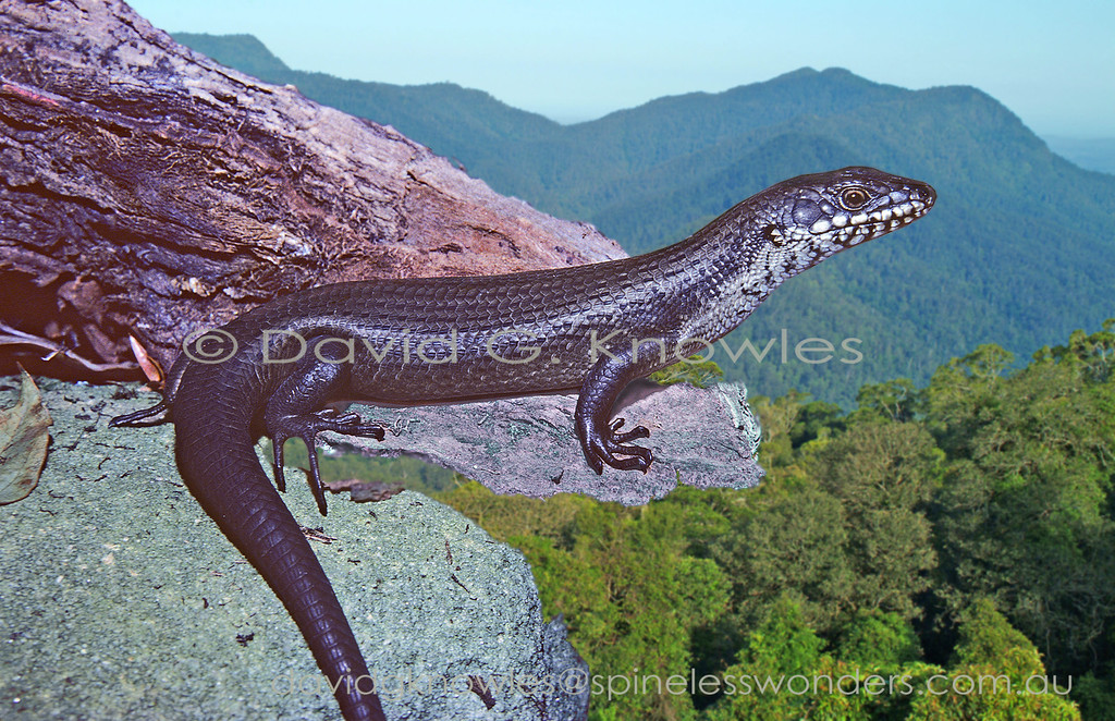 Eastern Crevice Skink scans for mates and food
