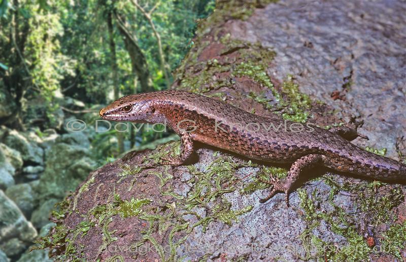 Rainforest Sun Skink surveys territory