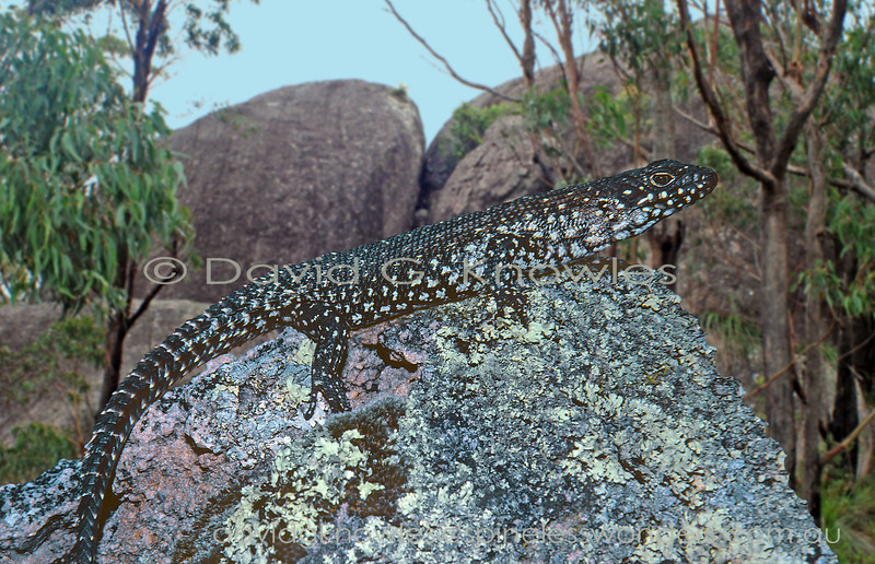 Cunningham's Skink basks on favourite granite boulder