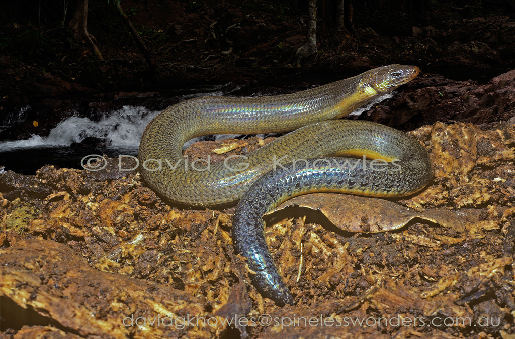 Limbless Snaketooth Skink showing yellow belly