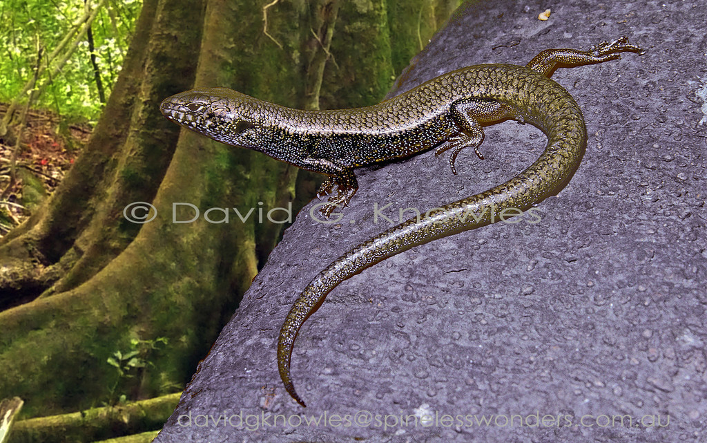 Blue-speckled Forest Skink surveys territory