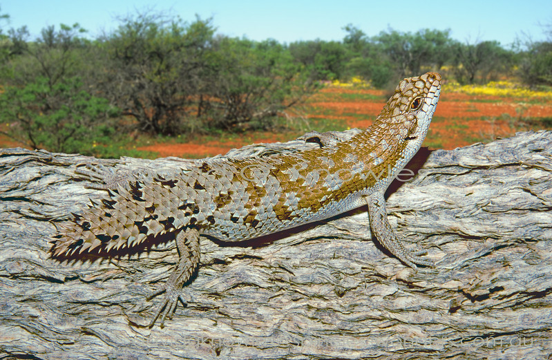 Pygmy Spinytailed Skink watches for birds of prey