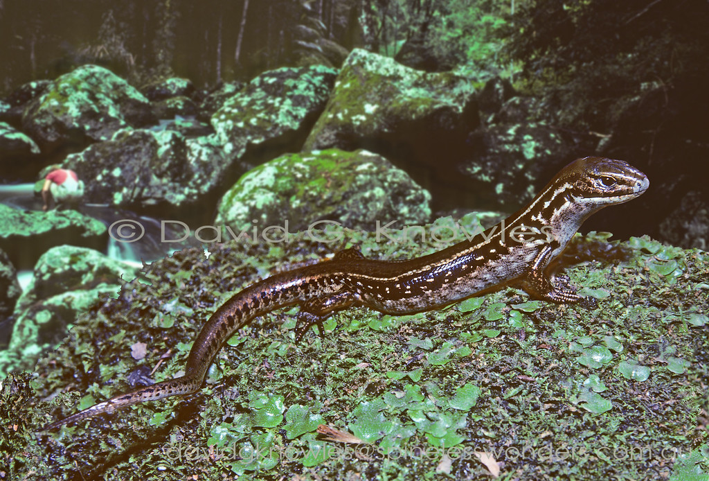 Alpine Water Skink watches for danger