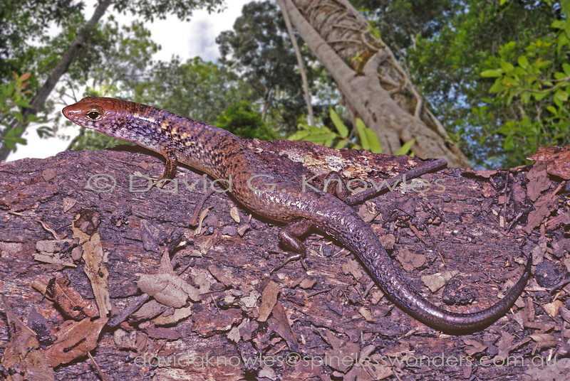 Brown-tailed Bar-lipped Skink emerges from home crevice to bask