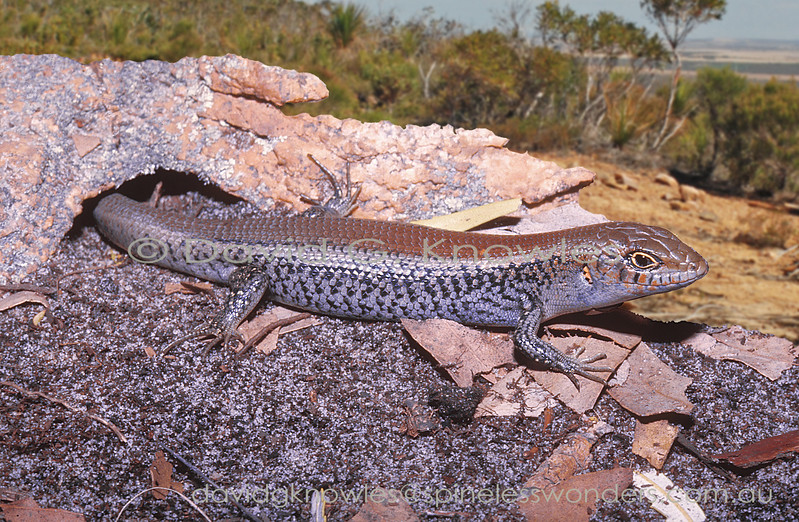 Spectacled Rock Skink emerges from burrow to bask safely