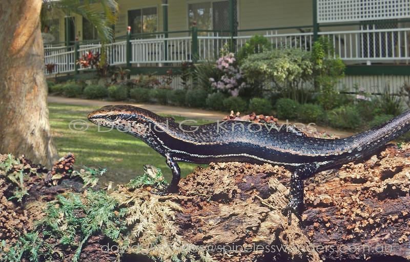 Paleflecked Garden Sun Skink forages in Brisbane garden