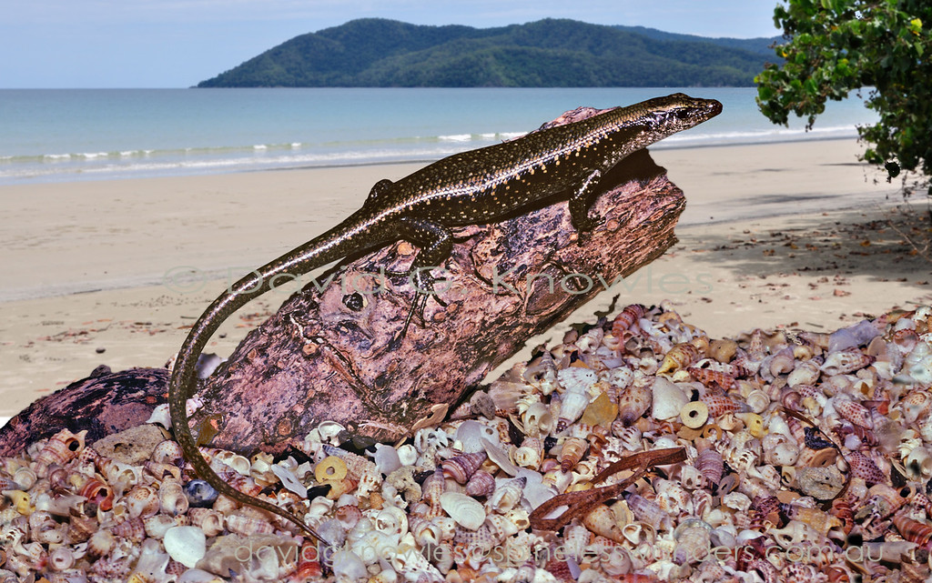 Littoral Whiptail Skink basks on favourite beachside log. Emoia atrocostata extends from southern Japan, Taiwan, the Philippines, Indonesia, Malaysia, Borneo, Vietnam, Papua New Guinea to the Solomon Islands, Vanuatu and Queensland, Australia