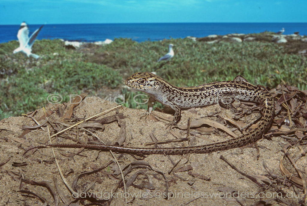 Jurien Bay Rock Skink monitors Silver Gulls