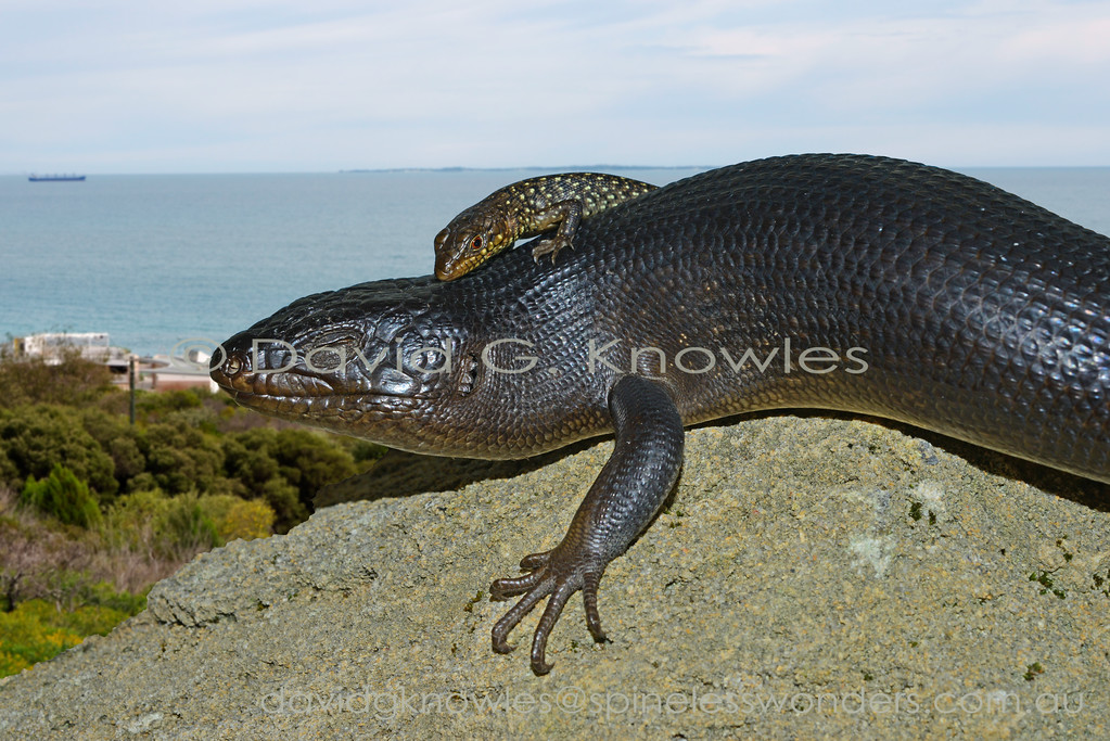 King's Skinks usually live communally in family groups whether they are living in crevices or burrows. It is not uncommon for juveniles to use mum or dad as a basking platform. Some expat NZ friends sat picnicking on a rug celebrating an anniversary. Whilst looking into each other's eyes with raised glasses of champagne they heard a rustle at the edge of their rug and turned to see all their camembert in the mouth of a large King's Skink disappearing down a coastal limestone crevice