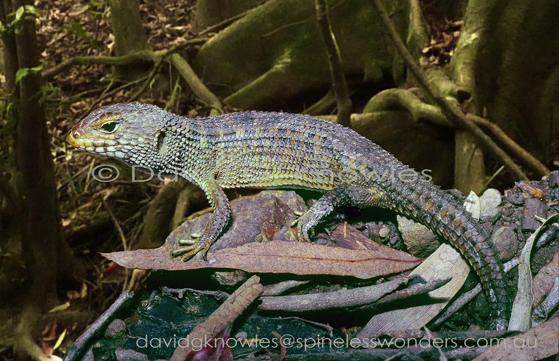 Nangur Spiny Skink emerges from burrow to bask in vine thicket glade