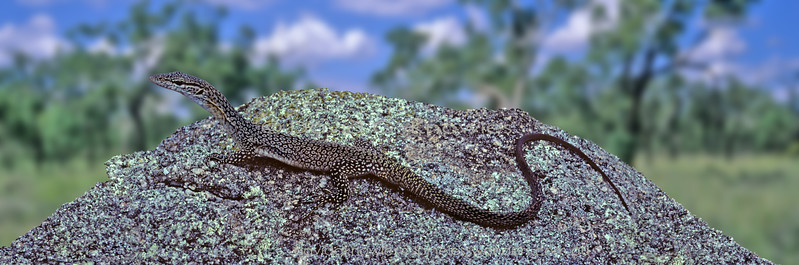 Subadult Freckled Tree Monitor emerges from home crevice to favoured basking site