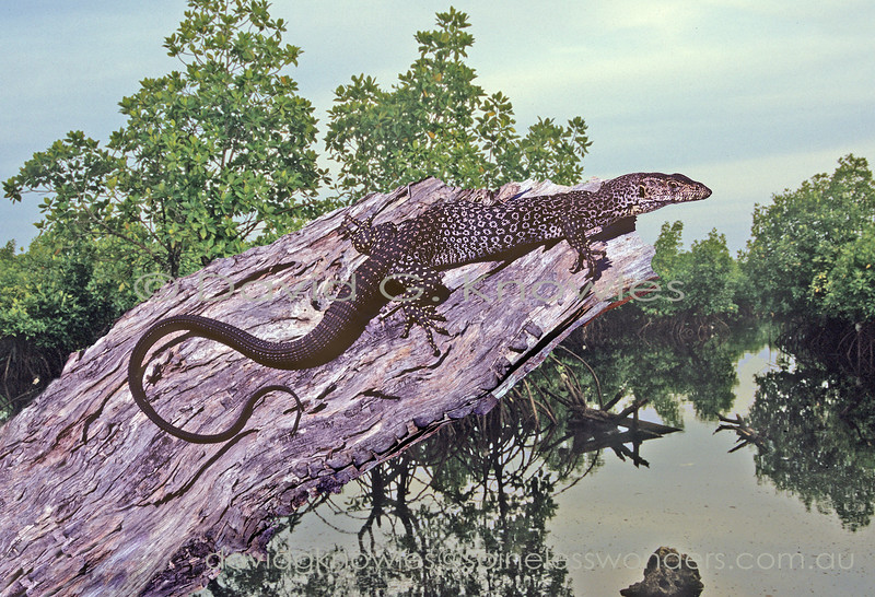 Rusty Monitor basks in favoured mangrove habitat