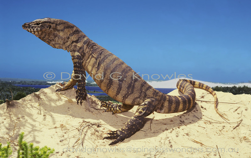 Southern Heath Monitor inflates to enact bluff display