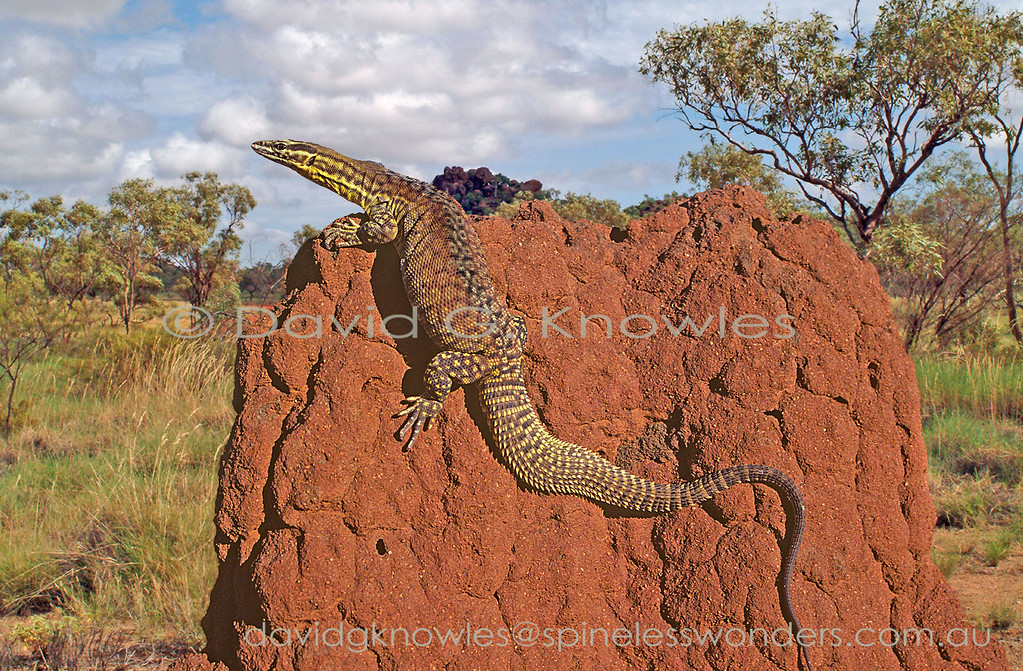 Ridge-tailed Monitor basks and surveys territory from termite mound