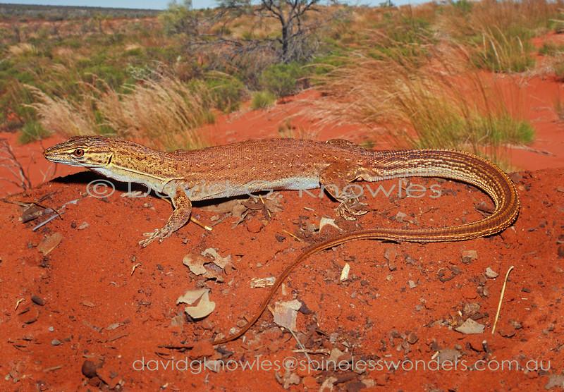 Pygmy Desert Monitor speedster contemplates bolting