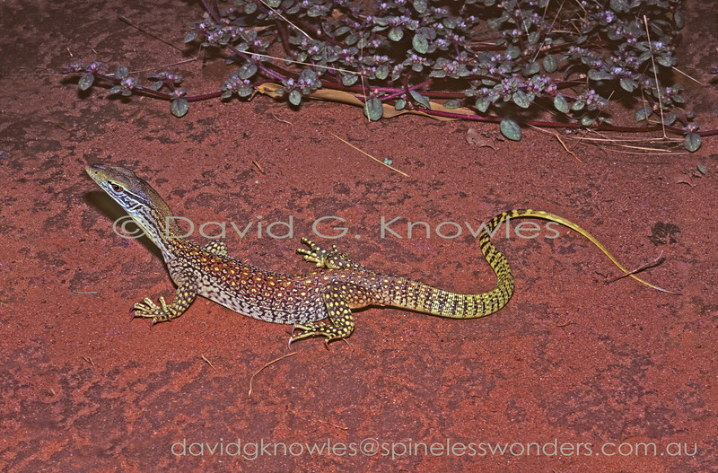 Subadult Sand Monitor stops to consider next move