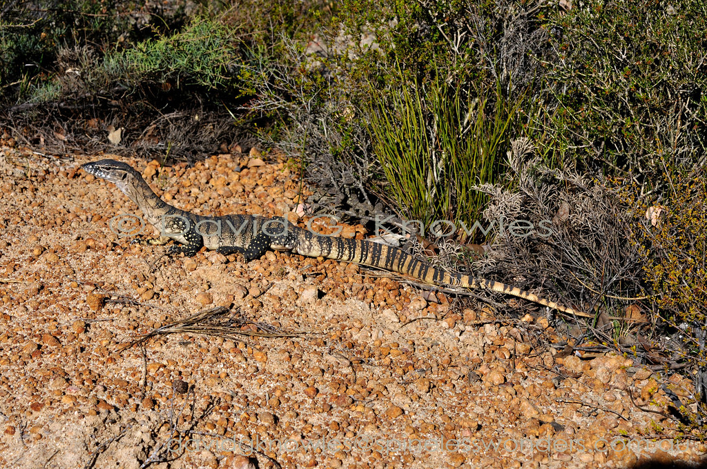 Southern Heath Monitor basks at edge of track