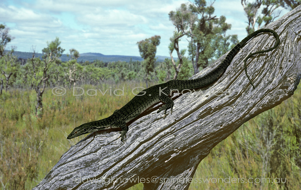 Freckled Tree Monitor (melanistic form)