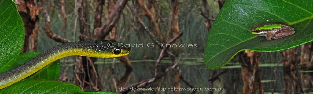 Common Tree Snake stalks Litoria olongburensis