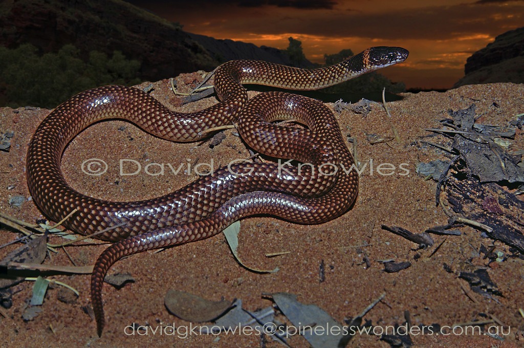 Orange-naped Snake prepares for night's foraging