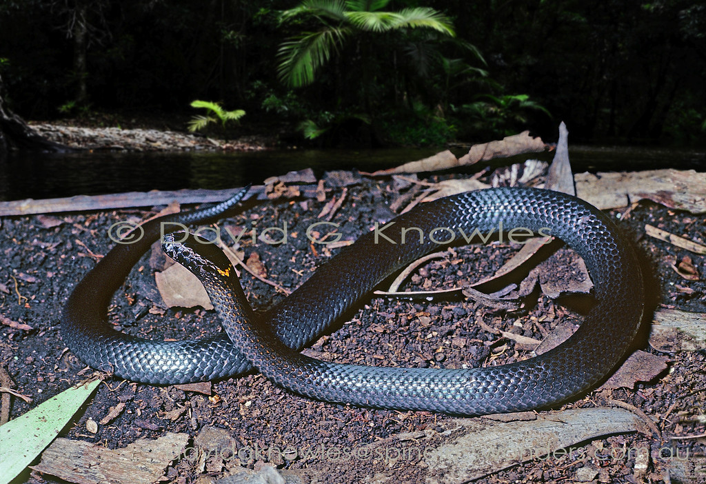 Northern Dwarf Crowned Snake basks in a rainforest glade