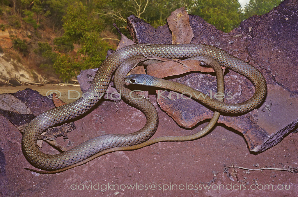 Collared Whip Snake basks near Island shore
