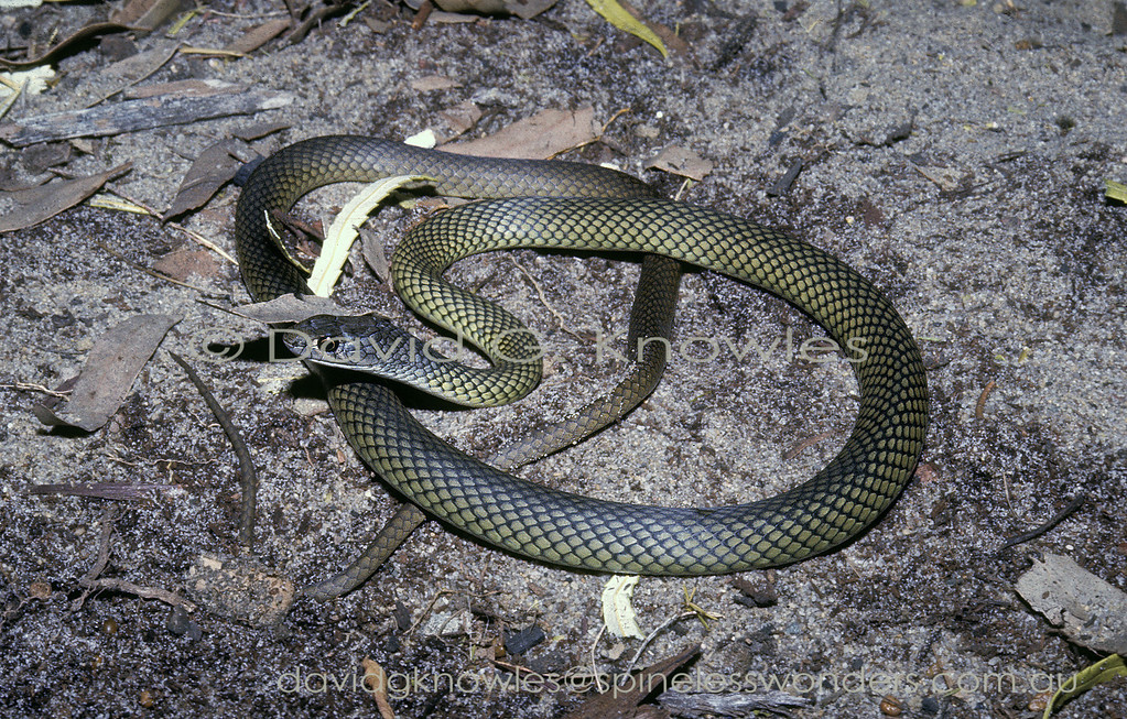 Reticulated Whip Snake basks in morning sun