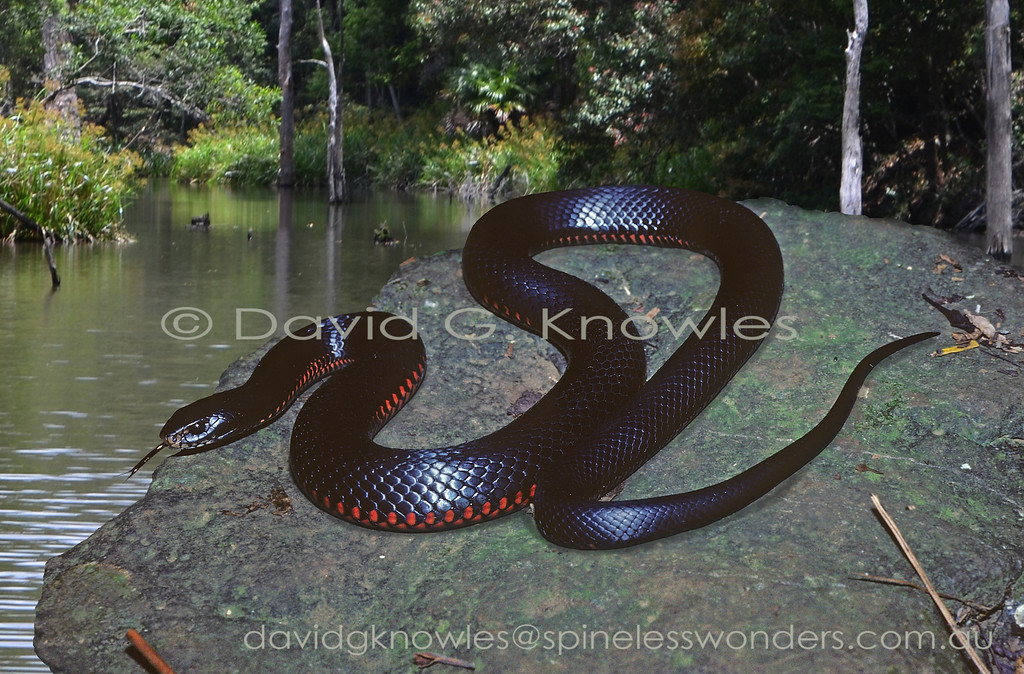 Red-bellied Black Snake prepares to enter creek