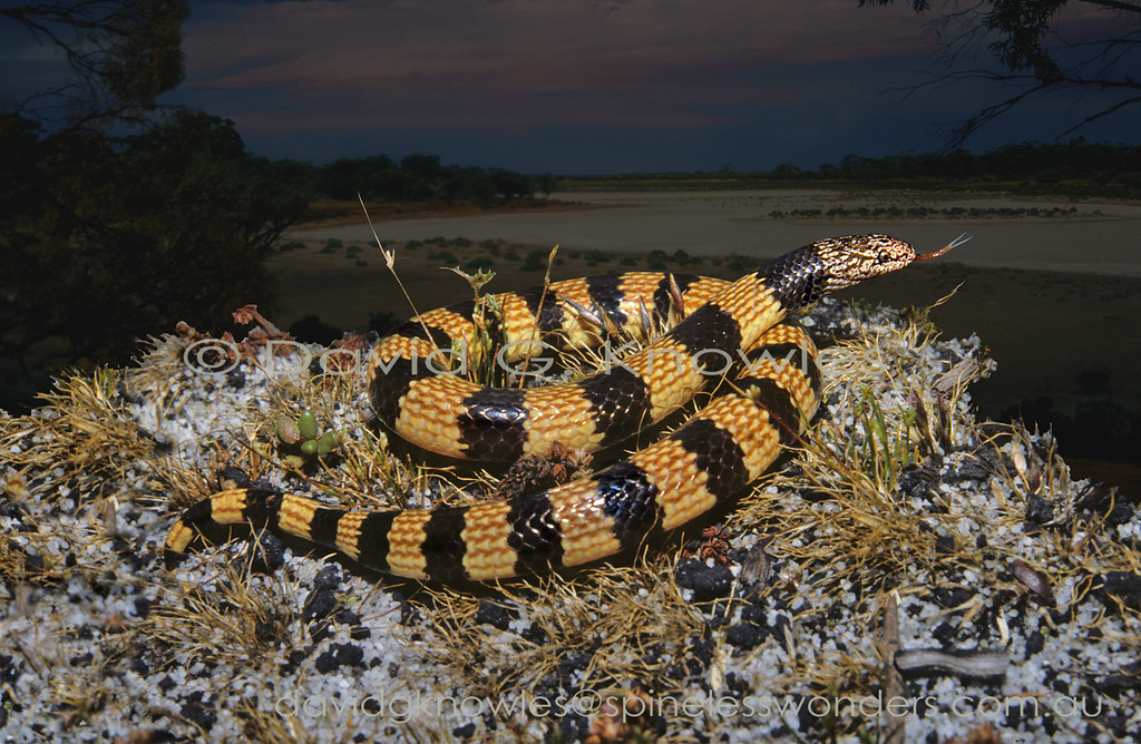 Southern Desert Banded Snake showing warning colouration