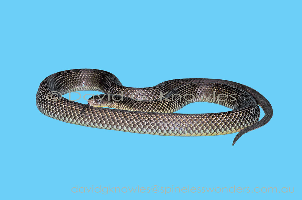 King Brown Snake on uniform background