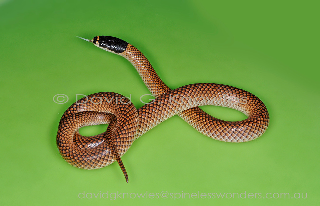 Male Gould's Hooded Snake on uniform background