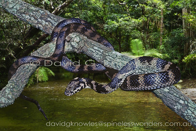 Australian Snakes Elapidae (Front-fanged Snakes)