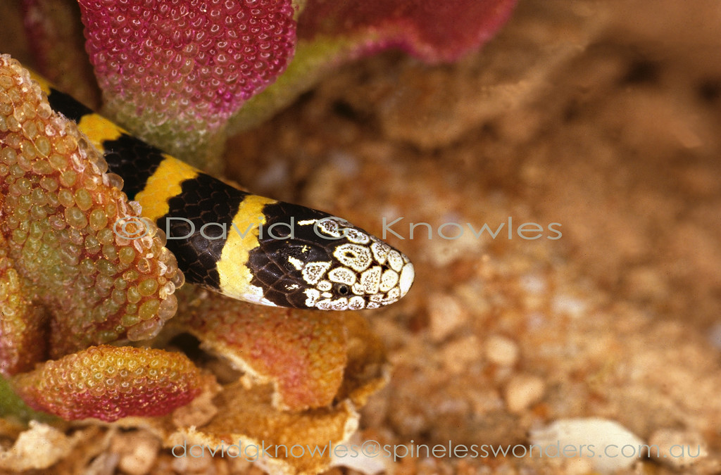 Coastal Burrowing Snake showing warning colouration