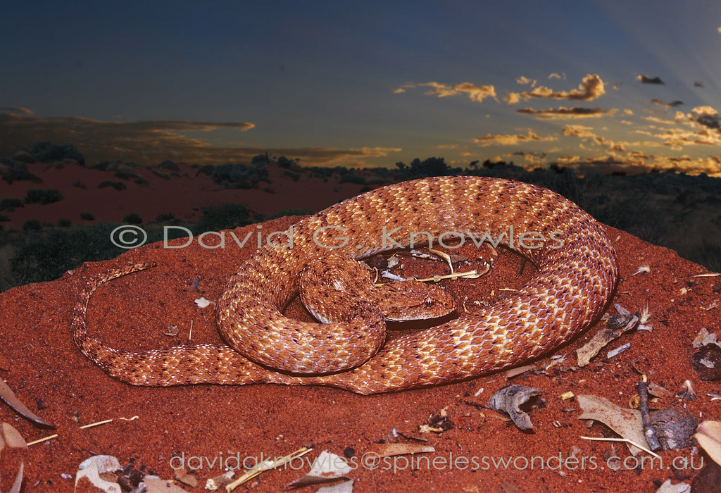 Pilbara Death Adder prepares to hunt at dusk