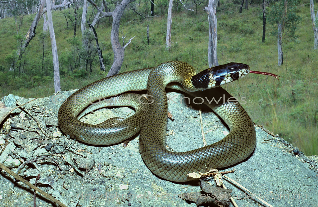 Juvenile Common Brown Snake in defensive mode. Most juvenile brown snakes serve as models for less venomous snakes and legless lizards