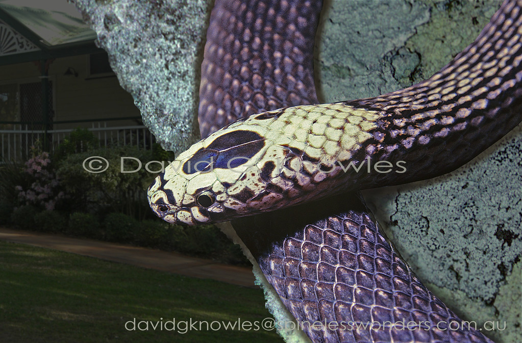 White Crowned Snake (rare pale head form) prepares for nocturnal garden forage
