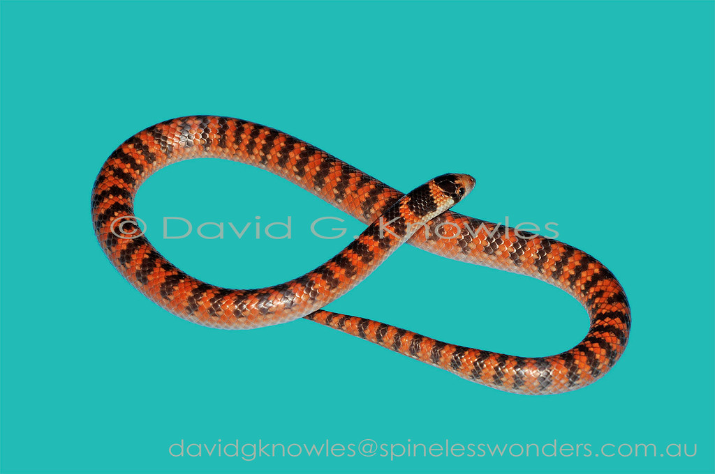 Subadult Southern Shovelnosed Snake on uniform background