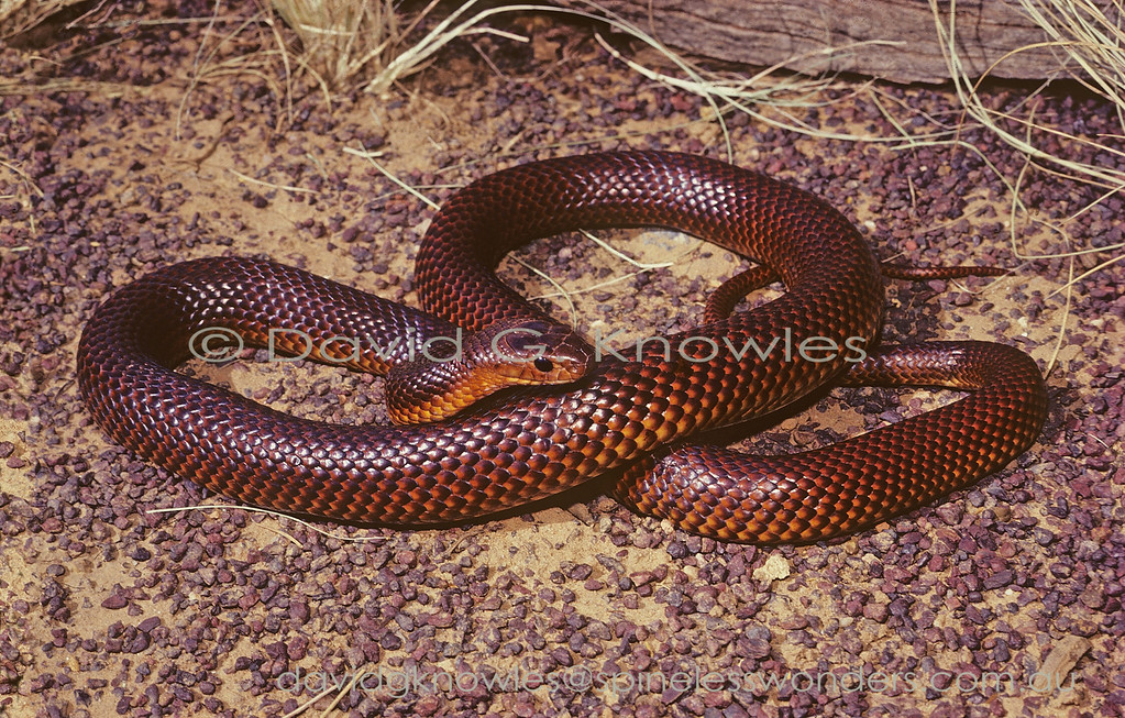 Ingram's Brown Snake basks in morning sun