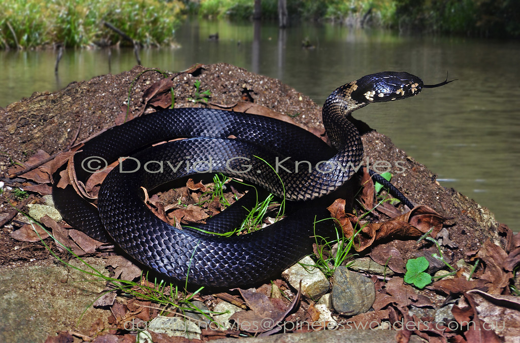 Melanistic Stephen's Banded Snake basks on a creek bank