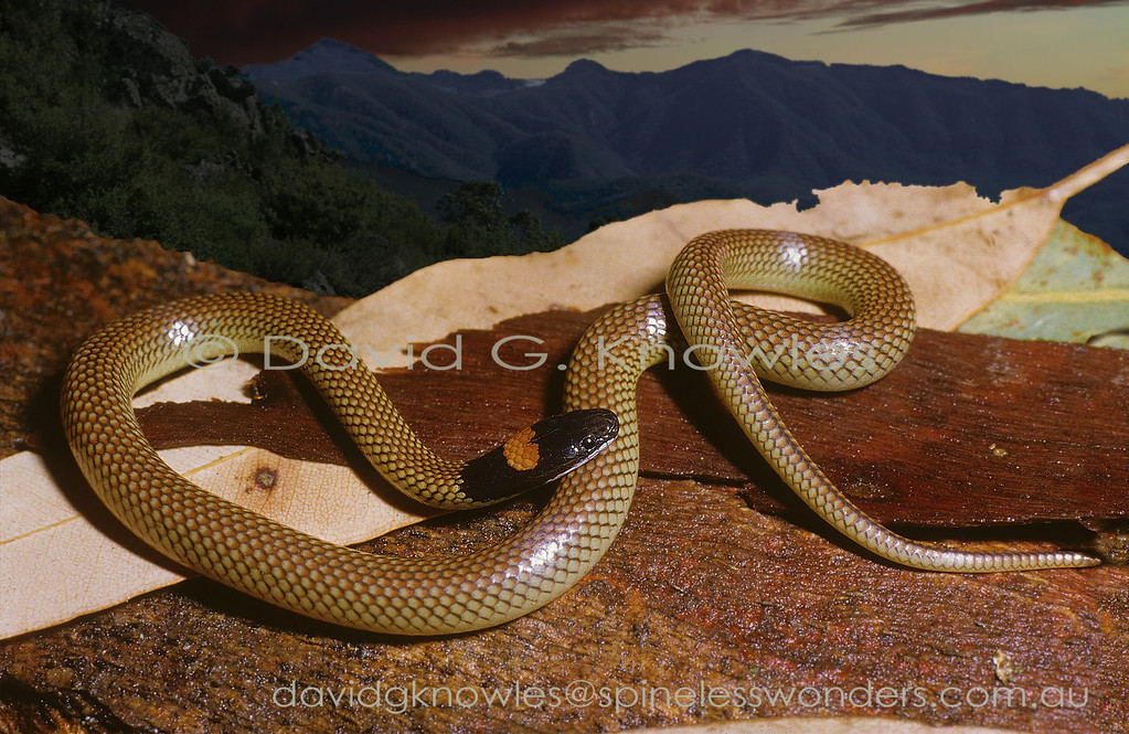 Red-naped Snake catches last light before foraging