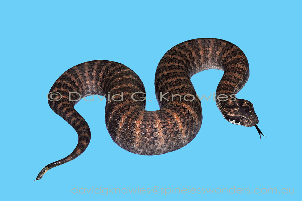 Common Death Adder showing modified tail lure