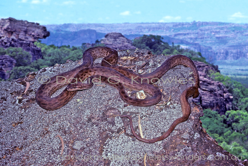 Oenpelli Rock Python basks in afternoon sun