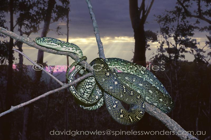 Diamond Python begins to forage at dusk