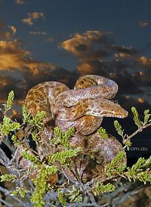 Australian Snakes Pythonidae (Pythons)