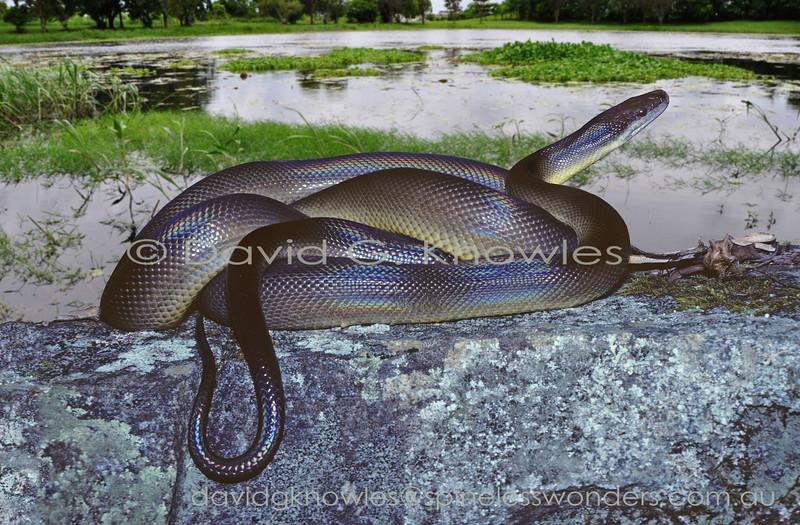 Water Python basks on lakeside rock