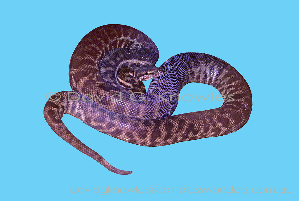 Female Stimson's Python on uniform background