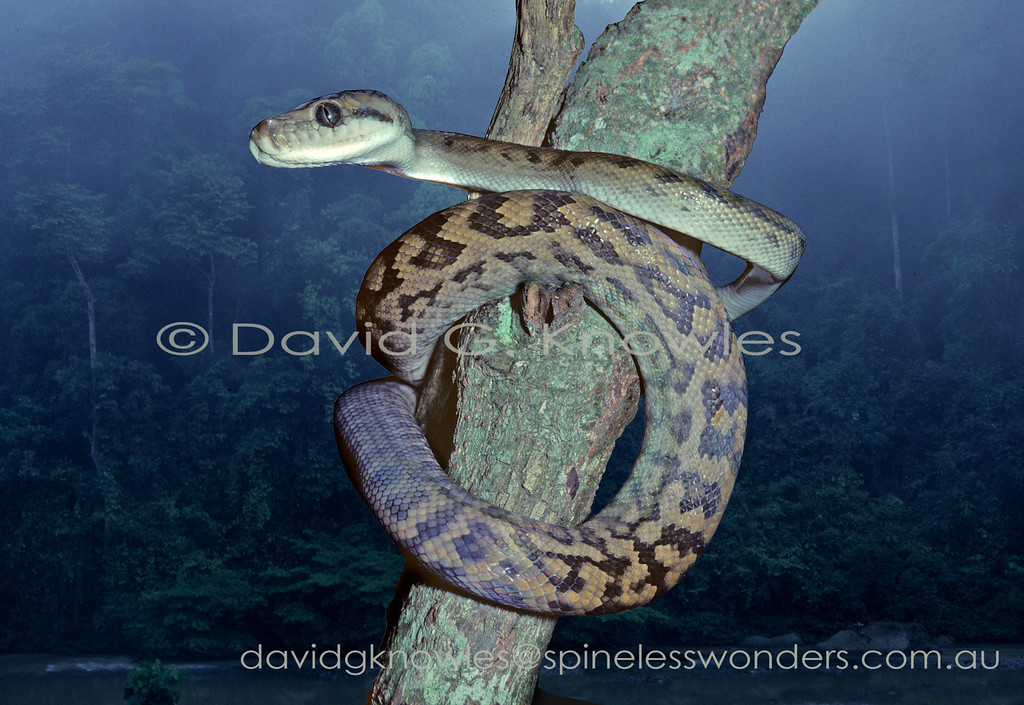 Subadult Australian Scrub Python prepares to return to home hollow in the  dawn mists