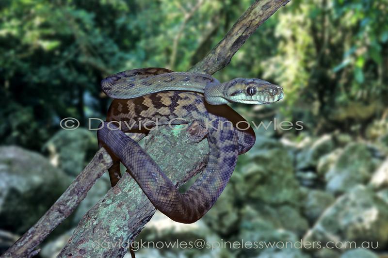 Subadult Australian Scrub Python basks in afternoon sun