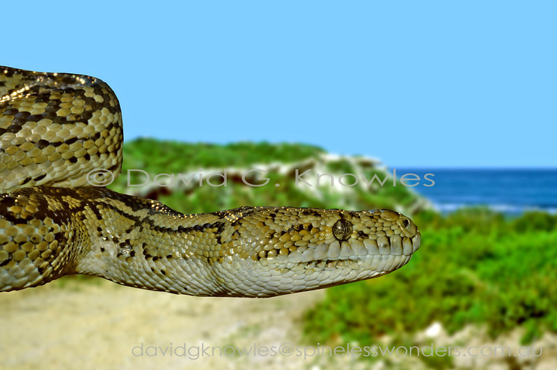 Female Western Carpet Python heads for home crevice  in early morning